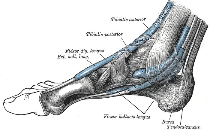 Tibialis posterior Schmerzen & Triggerpunkte selbst behandeln